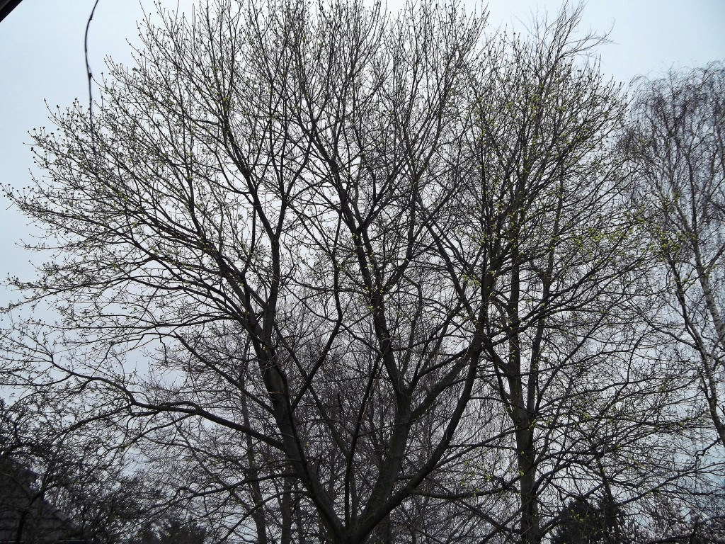 16.03.2014 Die ersten Blütenknospen springen auf. Bei genauem Hinsehen ist schon ein leichter Grünschimmer zu sehen.