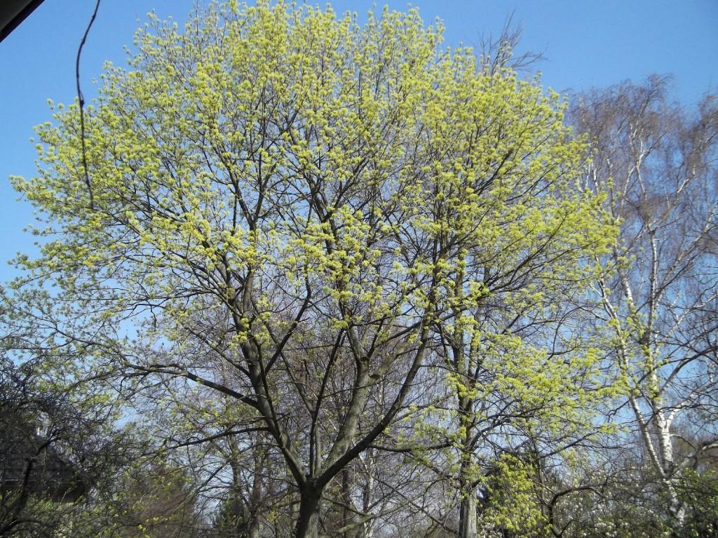 27.03.2014 Die Blütenfarbe wird dunkler und die ersten Blüten fallen ab.
