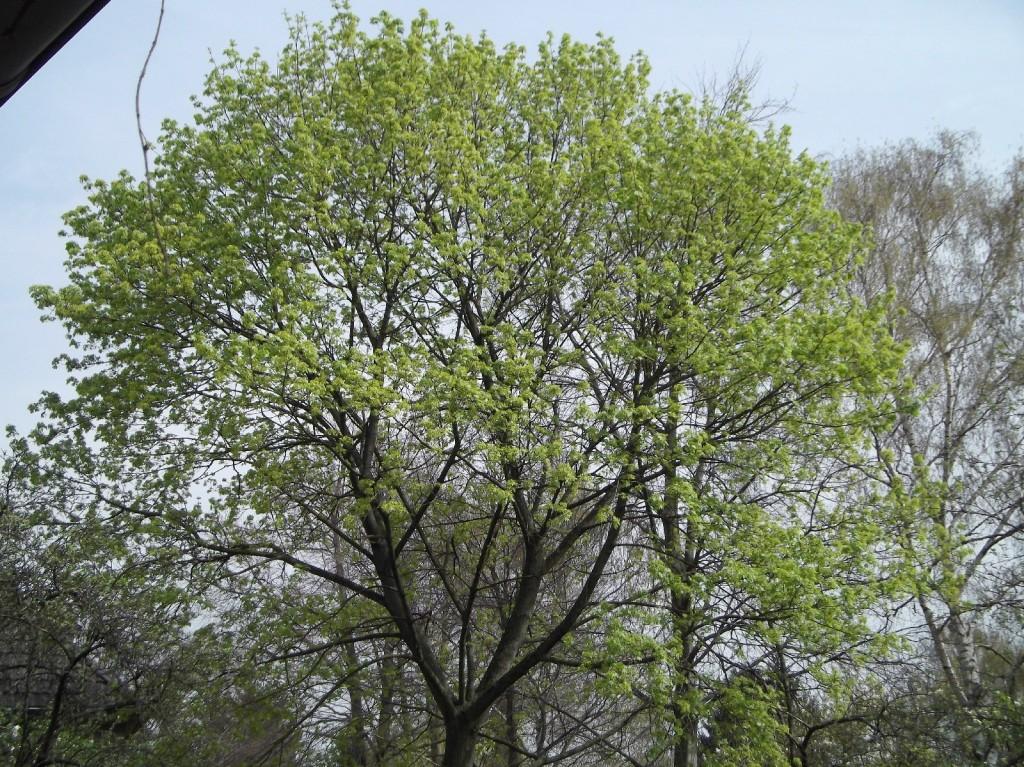 01.04.2014 Die Farbe ändert sich von gelbgrün der Blüten zum typischen frischen Grün der Blattaustriebe
