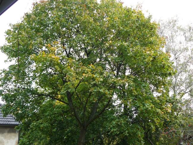 23.10.2014 Nun werden die ersten Blätter gelb. Im Gegensatz zu den anderen Ahornen in der Umgebung ist er spät dran.