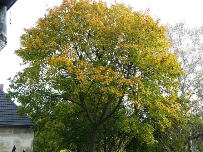 31.10.2014 Die Herbstfärbung ist jetzt nicht mehr zu übersehen.