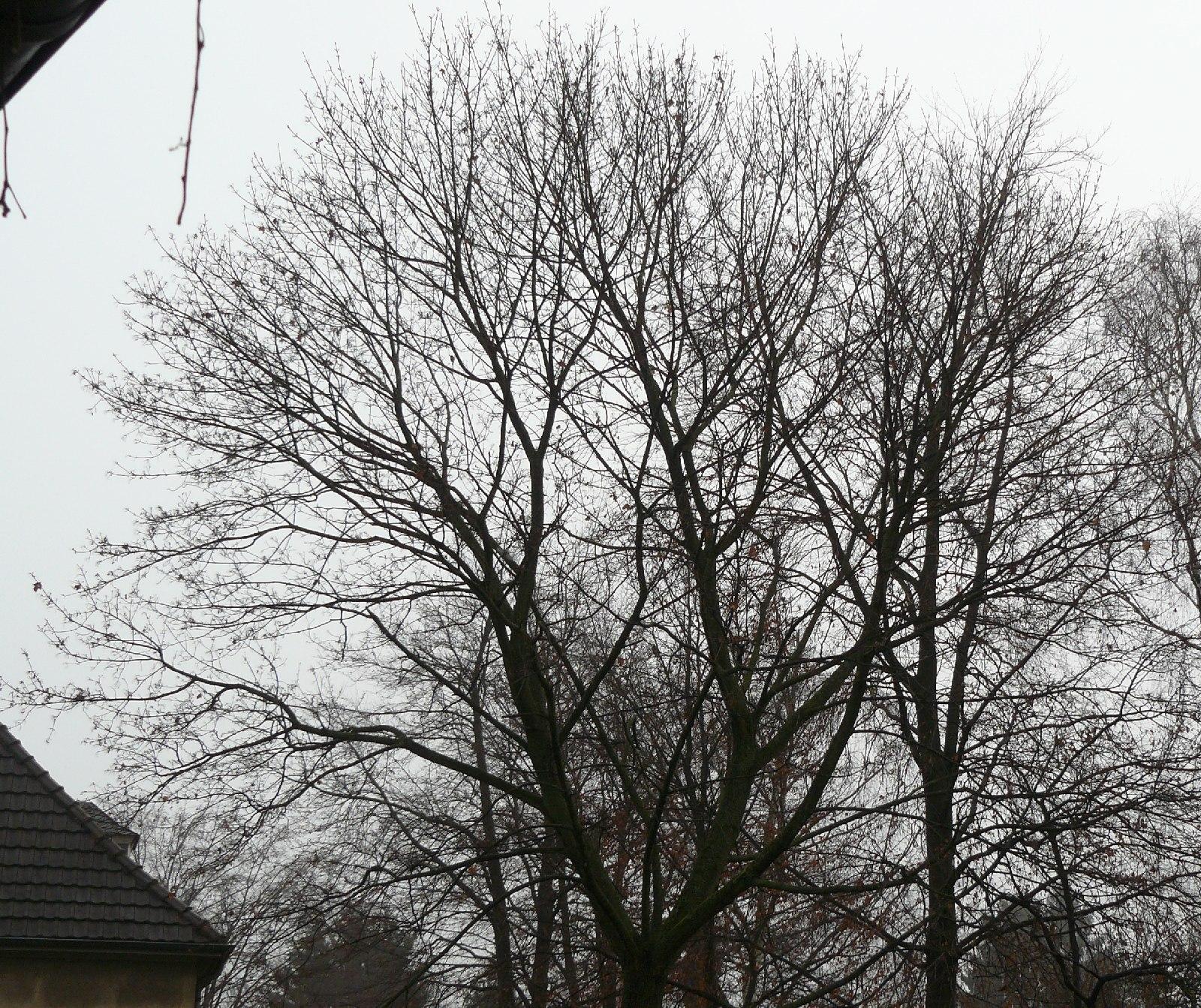 14.12.2014 Winterstarre. Nun ist er völlig kahl. Wie vor einem Jahr, als ich mit der Dokumentation dieses Baumes begann. Der Kreis hat sich geschlossen.