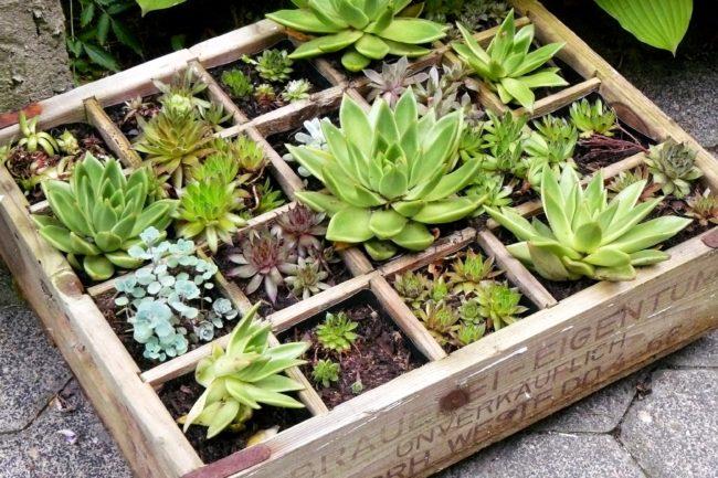 Mit Sukkulenten bepflanzter alter Holz-Bierkasten