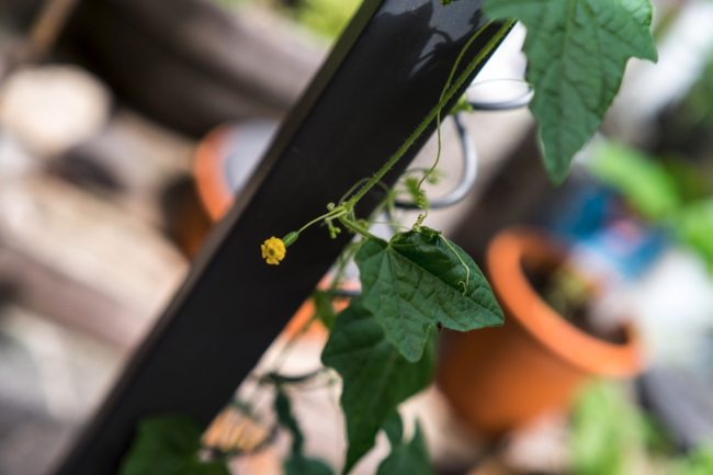 Blüte von Mexikanischer Minigurke Melothria scabra mit Früchtansatz