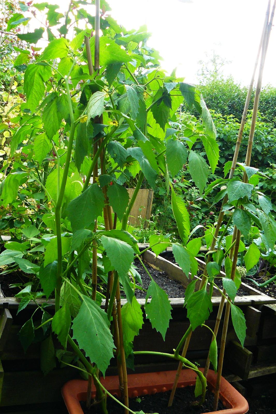 Tomatillos im Kasten
