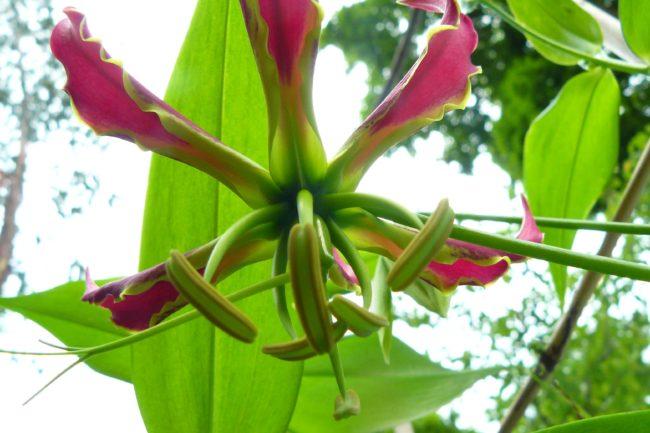 Gloriosa Blüte