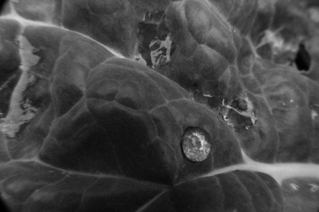 Wirsingblatt mit WassertropfenMacro Schwarz/Weiß