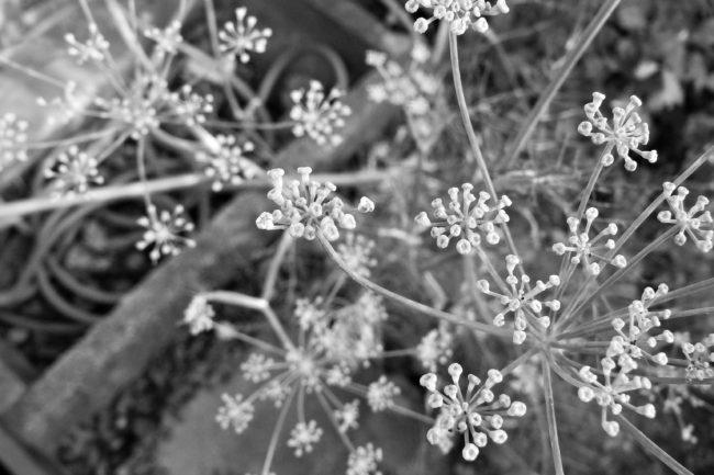 Fenchelblüten Schwarz/Weiß