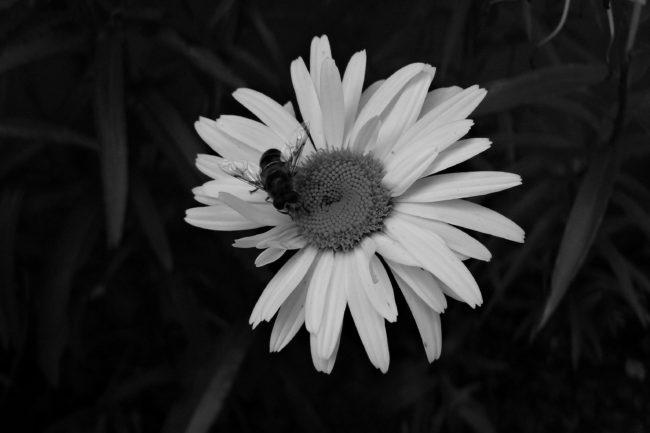 Margeritte mit Biene Schwarz/Weiß