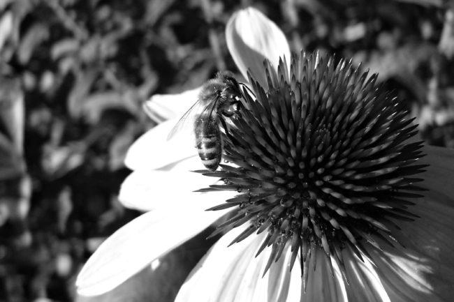 Rudbeckiablüte mit Biene Schwarz weiß