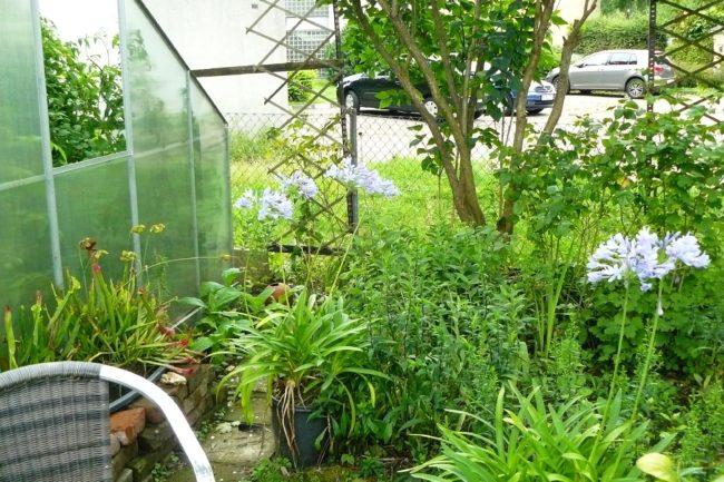 Schmucklilien Agapanthus am Gewächshaus.