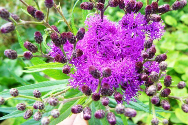 Vernonia Scheinasternblüte