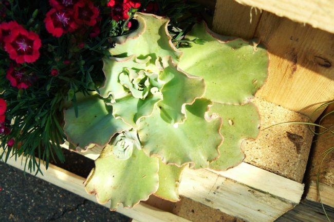 Echeveria in Paletten gepflanzt