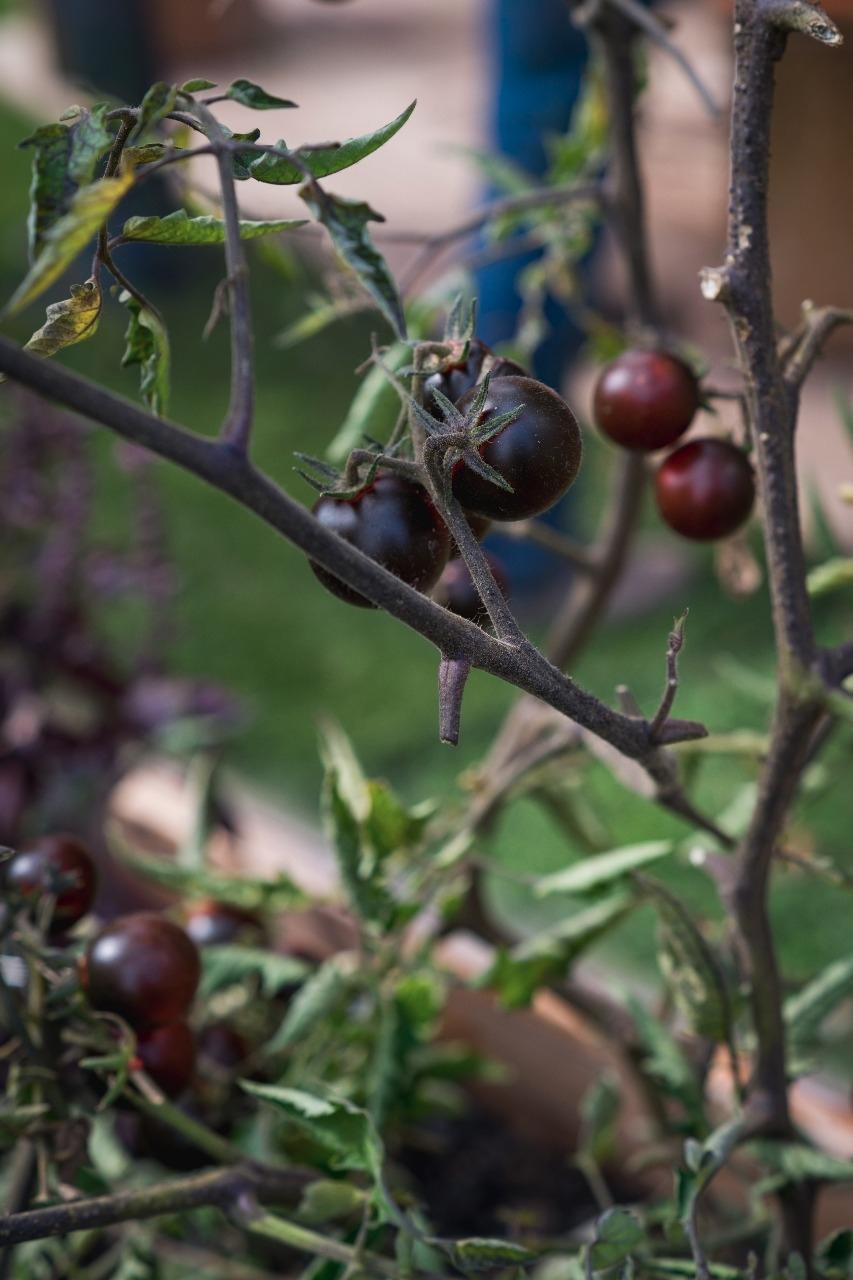 Tomate Schwarze Kirsche
