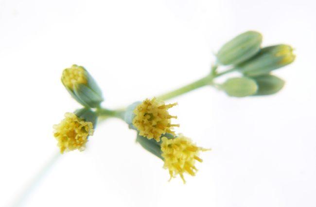 Senecio-kleiniiformis