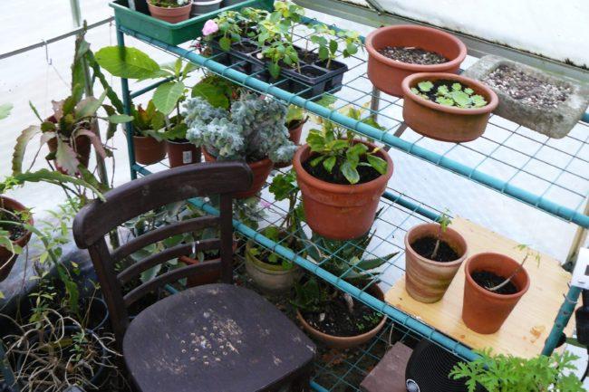 Überwinternde Pflanzen im Kaltgewächshaus