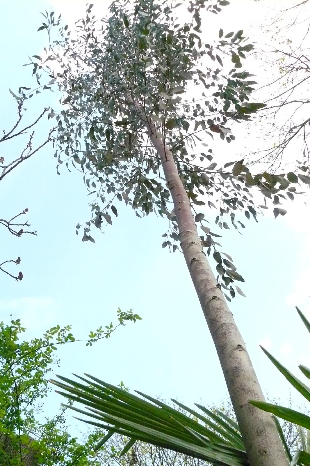 Eukalyptus gefällt