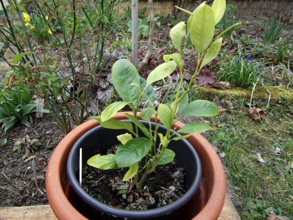 Clementine (Citrus reticulata)