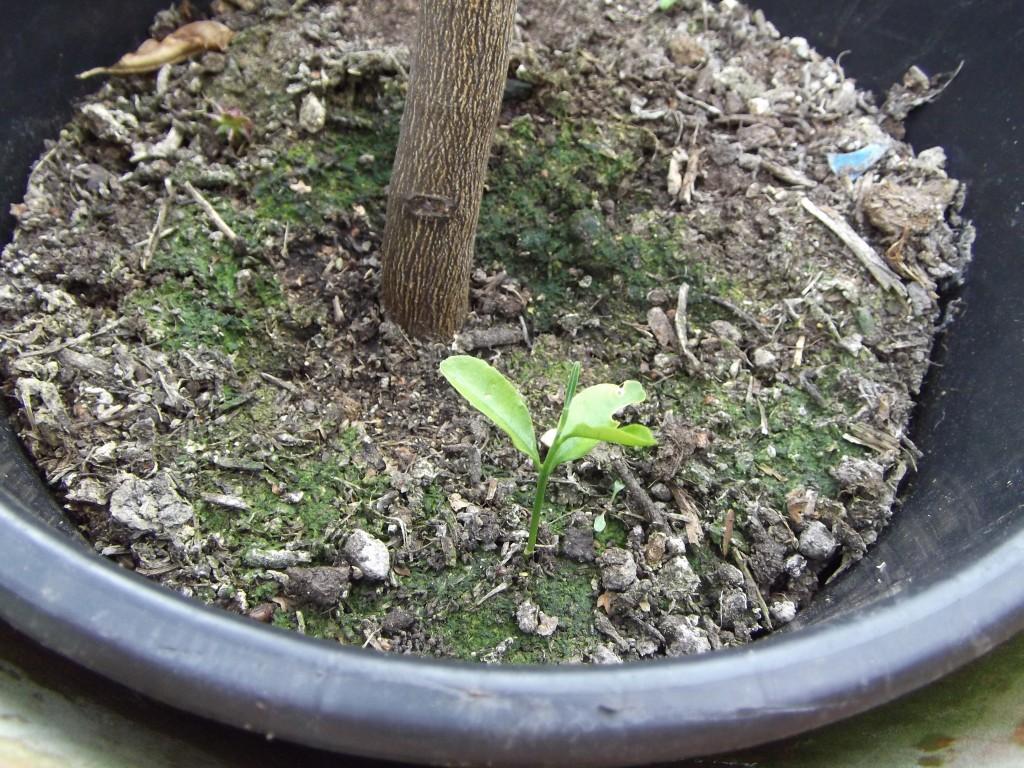 Limette Citrus aurantiifolia