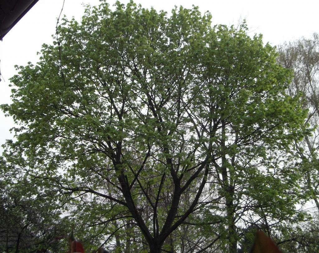 03.04.2014 Täglich werden die Blätter größer.