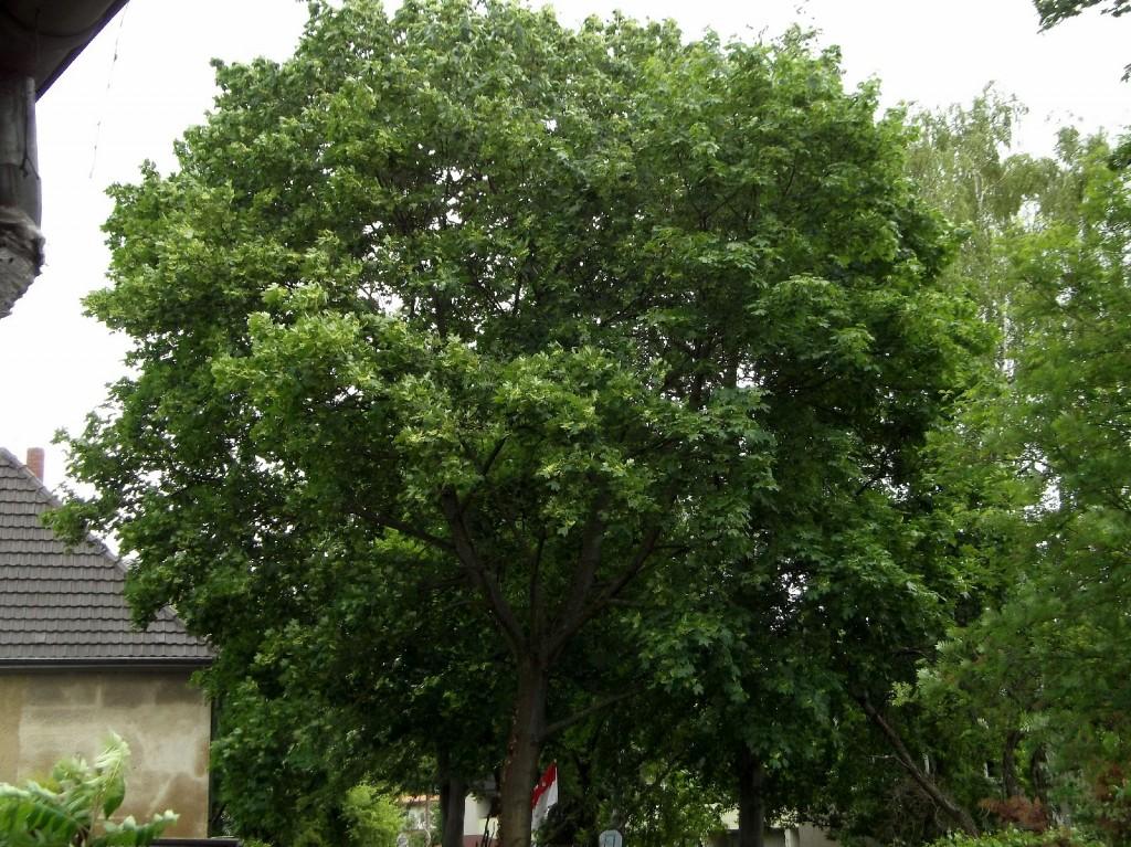 11.05.2014 Die Blätter haben jetzt ihr gleichmäßig dunkle Sommerfärbung angenommen. Lediglich die Samenbüschel zeigen noch das helle Maigrün.