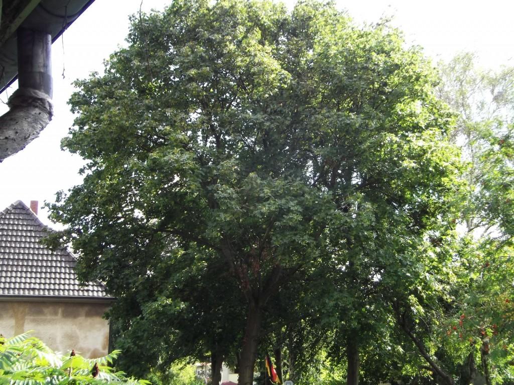 13.08.2014 Ein wenig von Stürmen gebeutelt und mit Totholz sieht man ihm den Unwettersommer an.