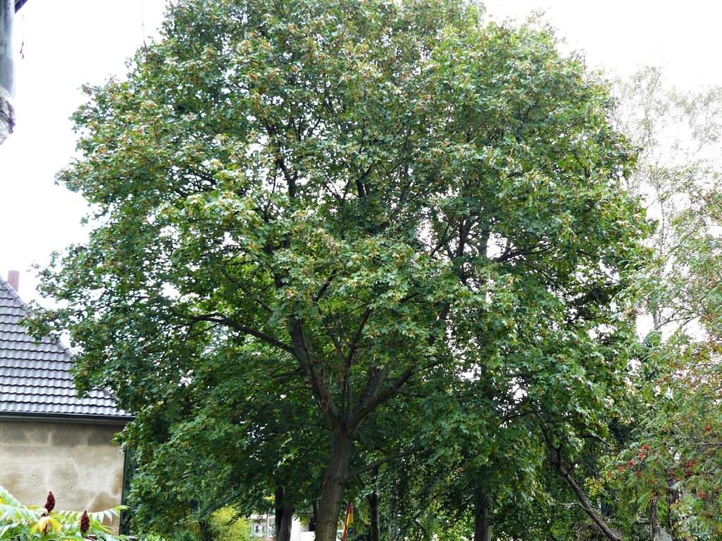 19.09.2014 Der erste kleine Gelbstich erscheint an den äußeren Blättern und weist in Richtung Herbstfärbung.