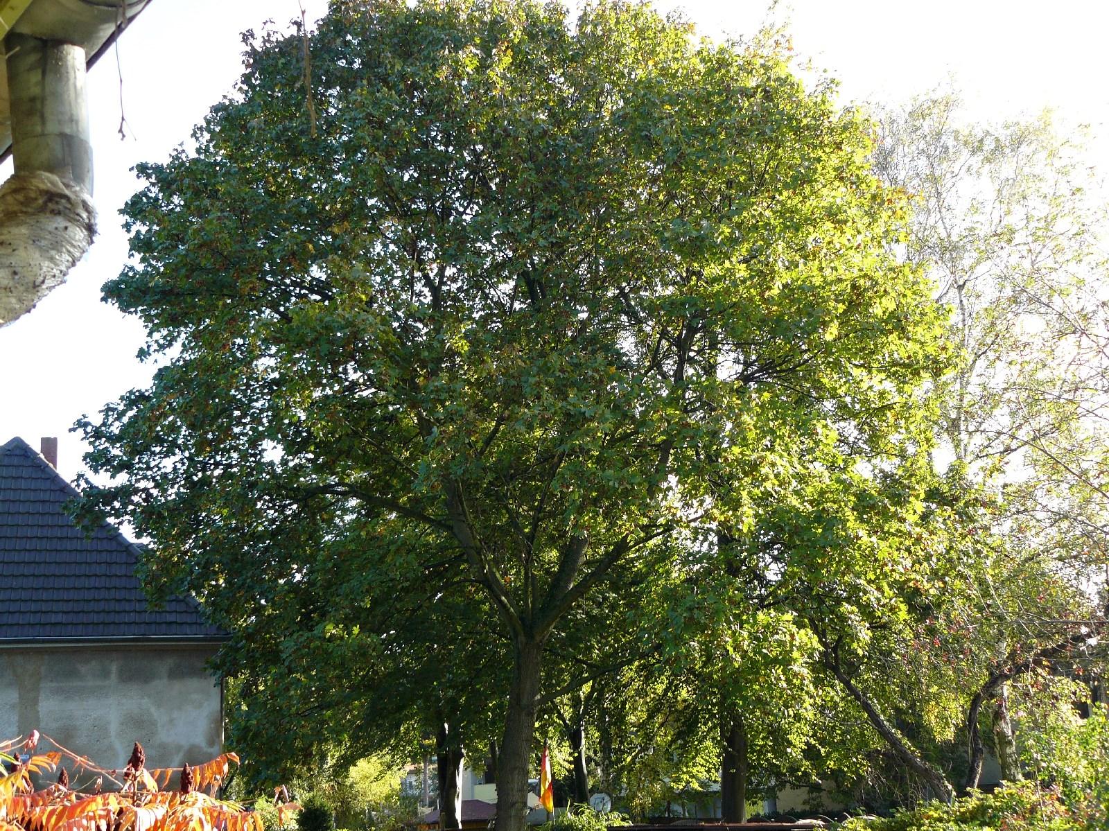 16.10.2014 Während die Ahorne in der Umgebung schon gefärbte Blätter aufweisen, hält dieser noch weitgehend seine grüne Farbe. Aber die Samen fallen nun ab.