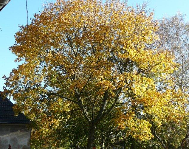 08.11.2014 Er leuchtet nun golden in der Herbstsonne.