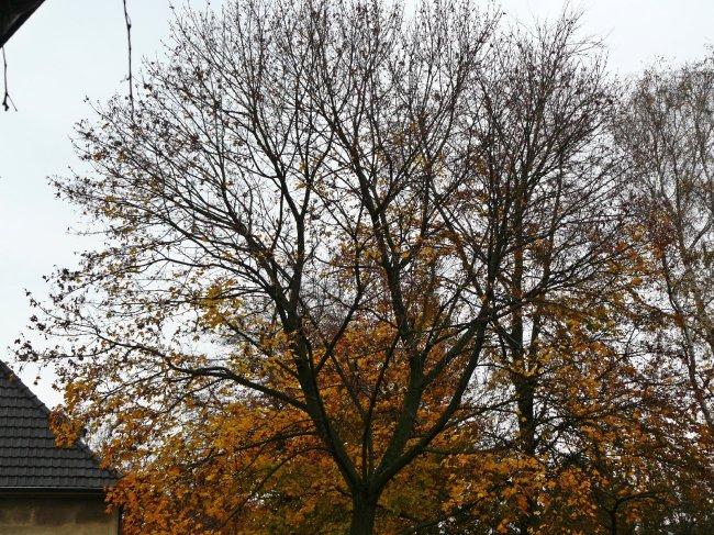 18.11.2014 Der obere Bereich der Krone ist nun weitgehend kahl.
