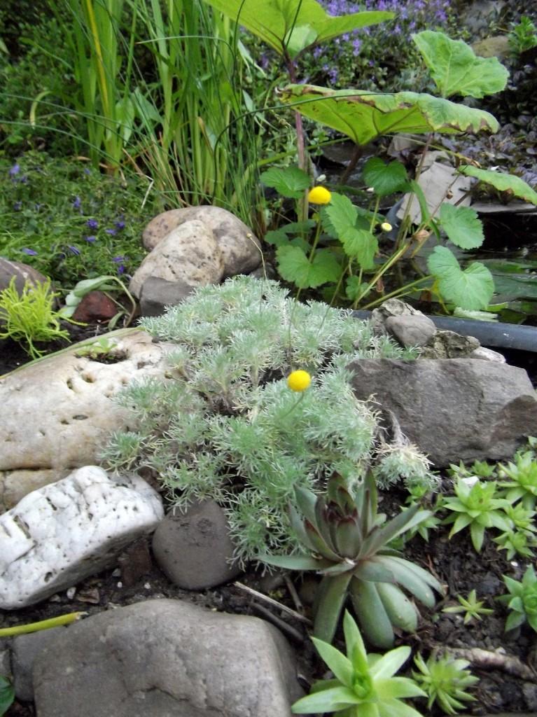 Bestand: Silber-Fiederpolster (Cotula hispida) und einige Hauswurze
