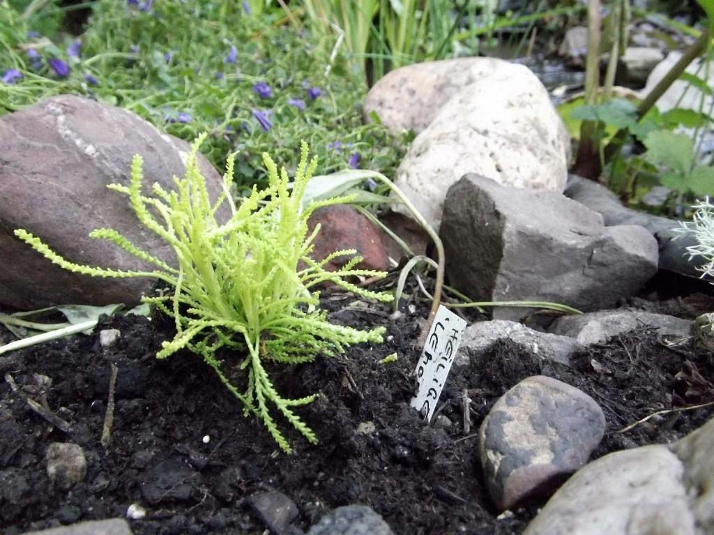 Heiligenkraut Santolina rosmarinifolia 'Lemon Fizz'