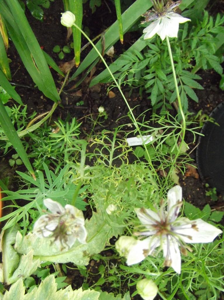 DSCF5451 Jungfer im Grünen African Bride Nigella papillosa_1600x1600_1000KB