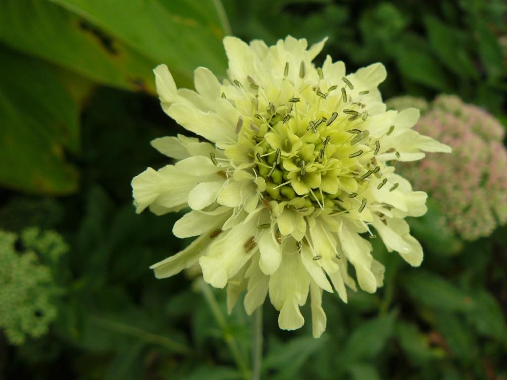 P1040389 Schuppenkopf Cephalaria gigantea_1600x1600_1000KB