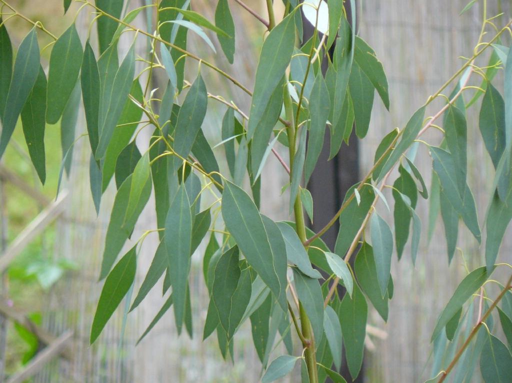 Eucalyptus gunnii  Adulte Blätter