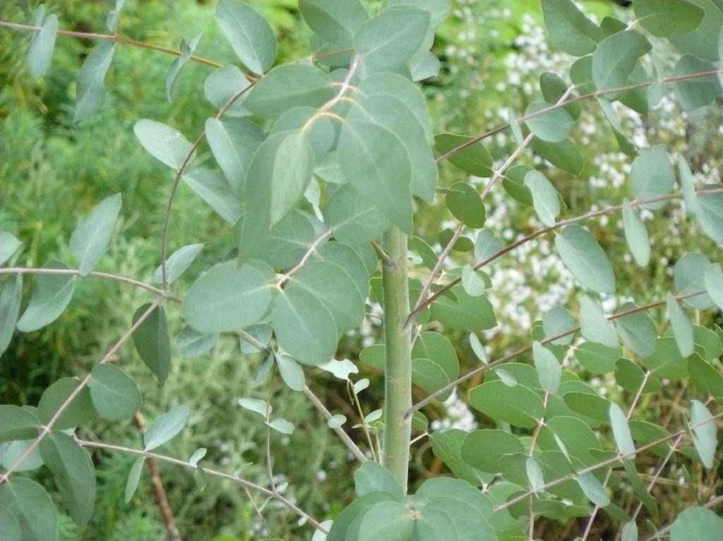 Eucalyptus gunnii Juvenile Blätter