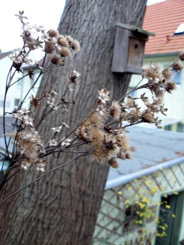 Scheinaster Vernonia