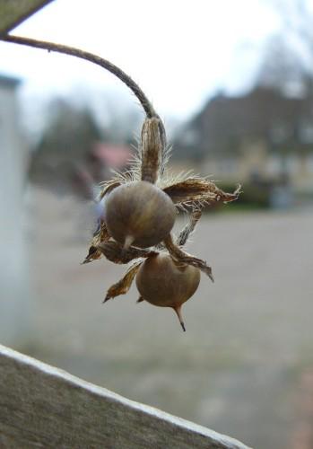 Trichterwinde Ipomoea violacea
