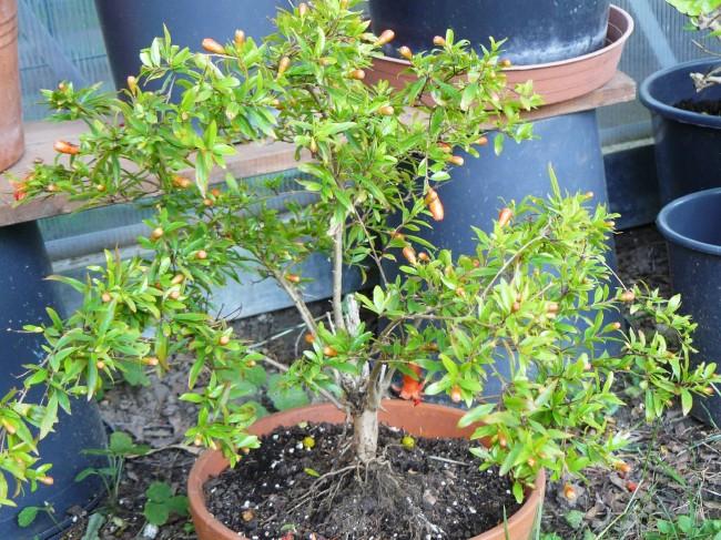 Granatapfel Punica granatum Nana
