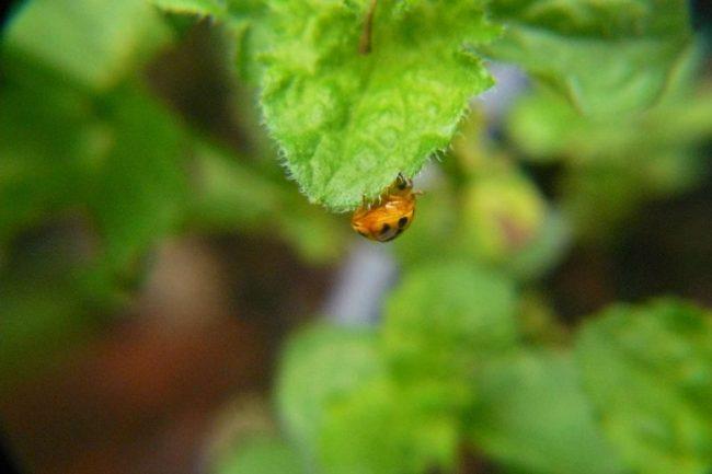 Australischer Marienkäfer auf Minze