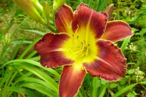 Hemerocallis Royal Thornbird