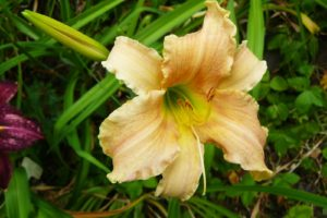 Hemerocallis Pink Damask