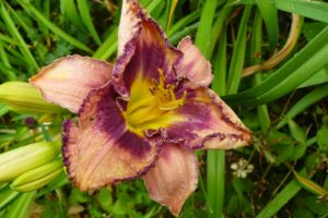Hemerocallis Siloam New Toy_