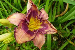Hemerocallis Siloam New Toy_