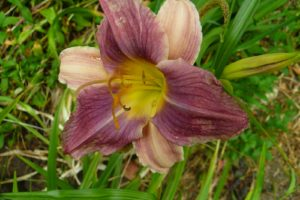 Hemerocallis Friendly Persuasions