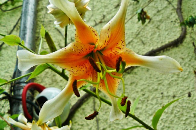 Lilie Lilium hybr. 'Bright Star'