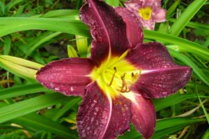 Hemerocallis Violett Hour