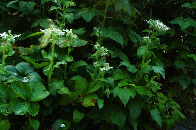 Weißer Borretsch Borago officinalis