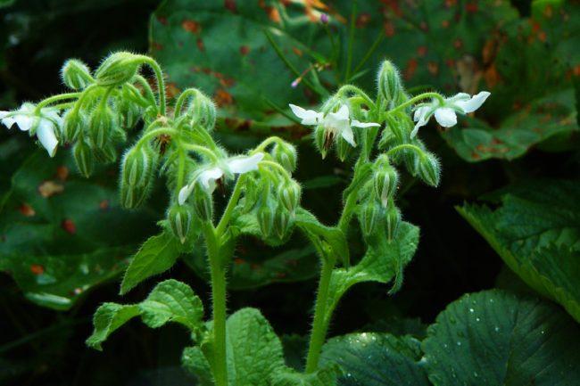 Weißer Borretsch Borago officinalis Blütenstände