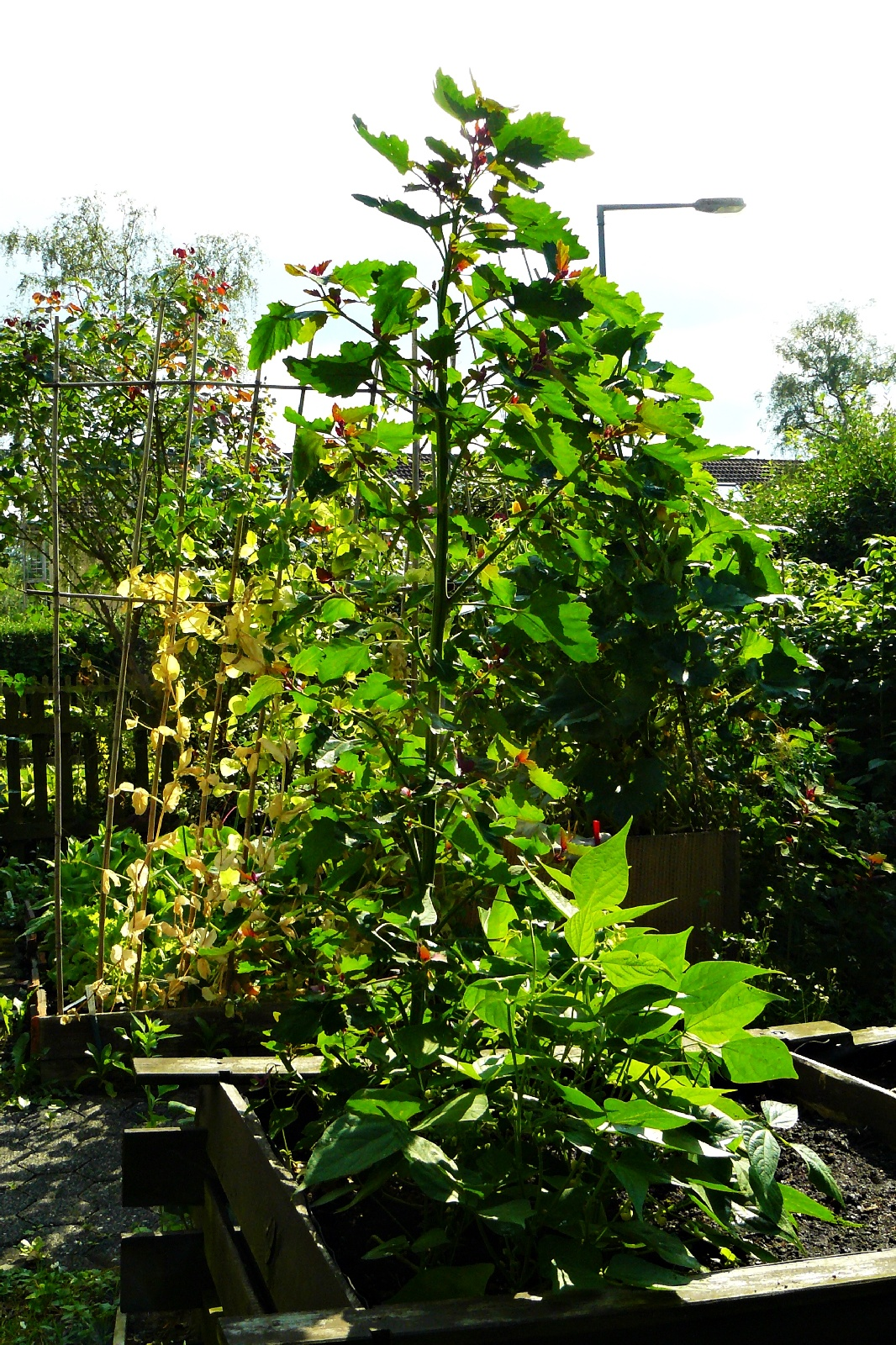 Baumspinat Chenopodium giganteum 'Magenta Spreen'